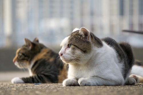 向こうを見ている猫