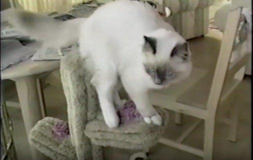 もふもふの可愛い猫