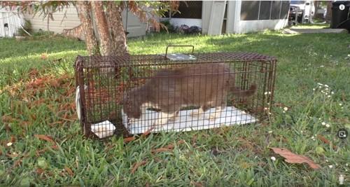 捕獲器の中の猫