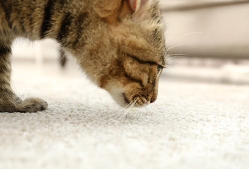 絨毯を嗅ぐキジトラ