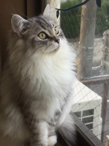 窓際で外を見ていた猫