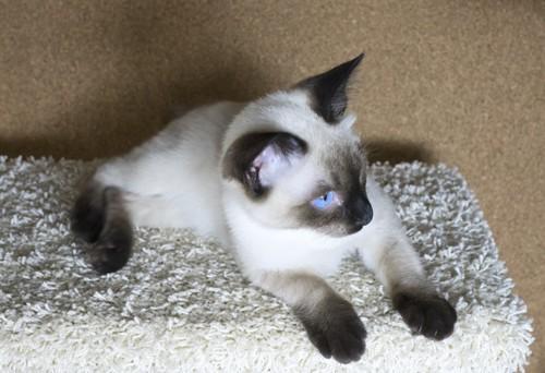 子猫のメコンボブテイル