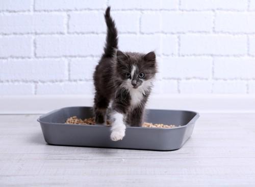 トイレから嬉しそうに出てくる白黒子猫