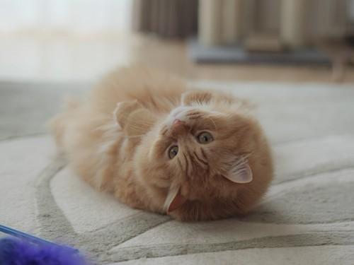 仰向けでくつろぐ猫