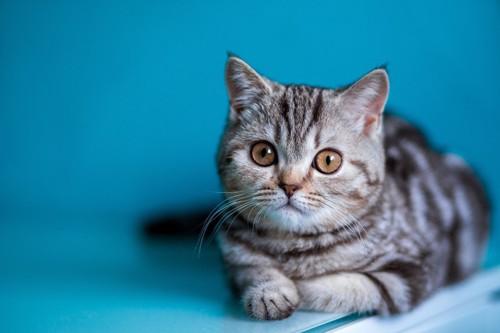 青い背景と猫