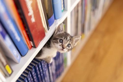 本棚に入って顔を出す子猫