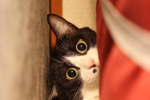 目を丸くして隙間に隠れる猫
