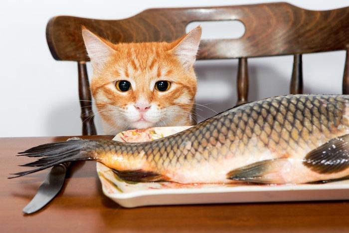 大きな魚を見つめる猫