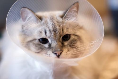 首にエリザベスカラーを付けている猫