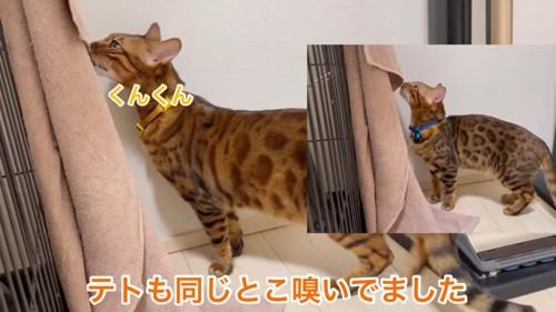タオルのにおいを嗅ぐ猫