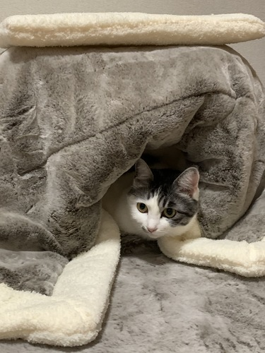 ねこたつにご満悦な猫