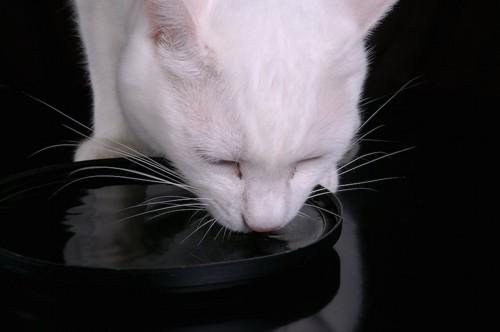 黒い容器から水を飲む白猫