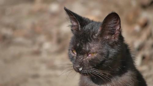 鼻水の出ている猫