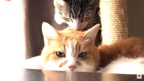 上からペロペロする猫