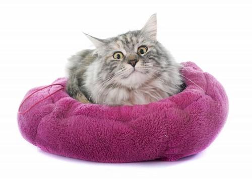 ぴったりサイズのベッドに入っている得意顔の猫