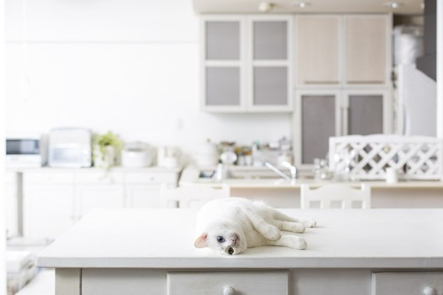 テーブルで寝転がる白い猫