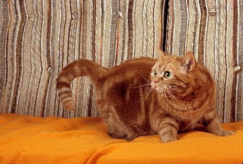 オレンジのクッションと何かを見つめる茶トラ猫