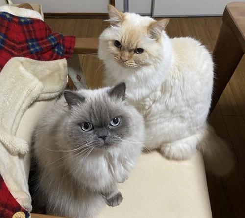 椅子に座る猫たち