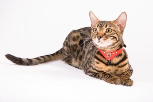 伏せの姿勢でくつろぐ赤い首輪の猫