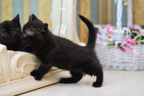 鏡の前で遊ぶマンチカンの子猫
