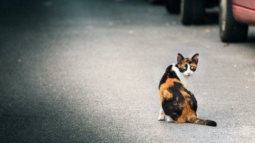 道路に座ってこちらを振り返る三毛猫