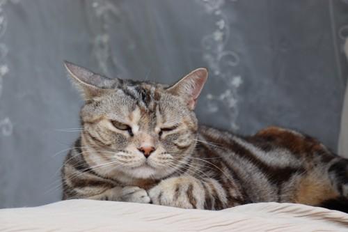 片耳を倒す猫