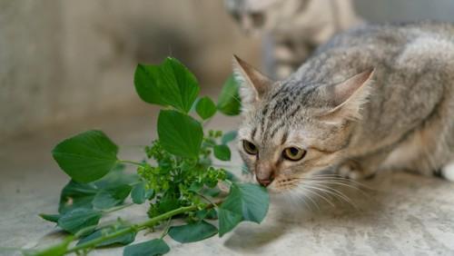 植物のにおいを嗅ぐ猫