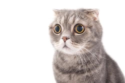 目を大きくして驚いている猫