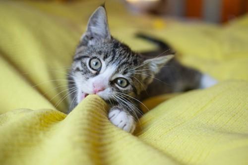 毛布を噛む子猫