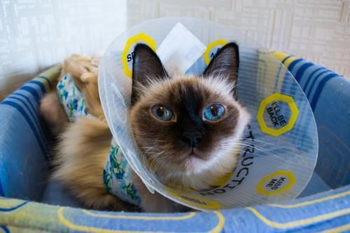 エリザベスカラーをするシャム猫