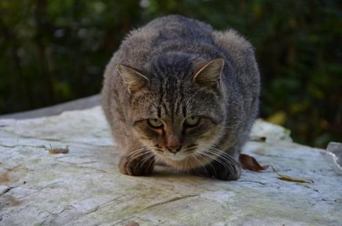 飛びかかってきそうな猫