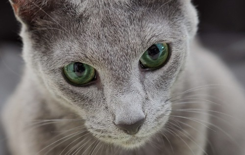 伏せをしているキジトラ猫