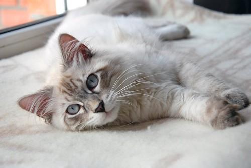 窓辺で横になっている白い猫