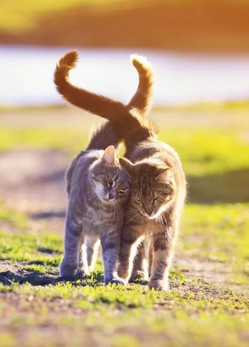 身体をくっつけて歩く仲良し猫