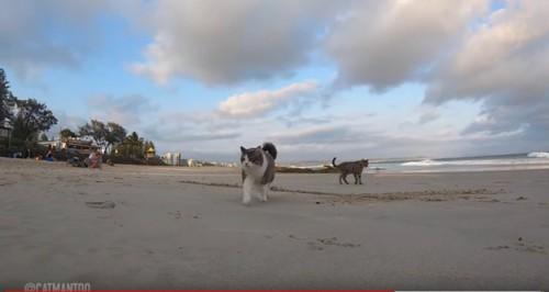 砂浜を散歩する猫