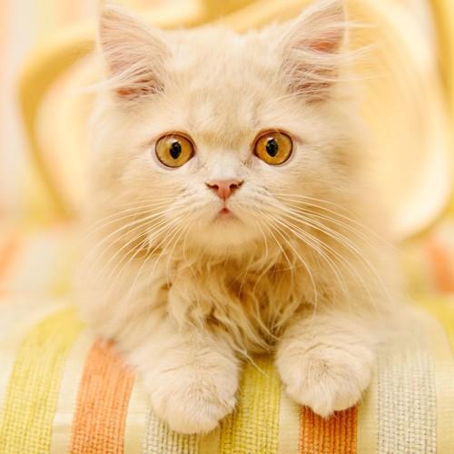 興味津々でこちらを見つめる子猫