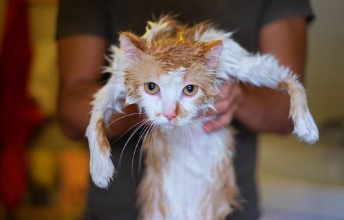 シャンプーしてもらった猫
