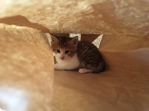 紙袋の中にいる子猫
