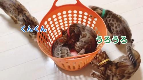 カゴに入る猫とまわりにいる猫