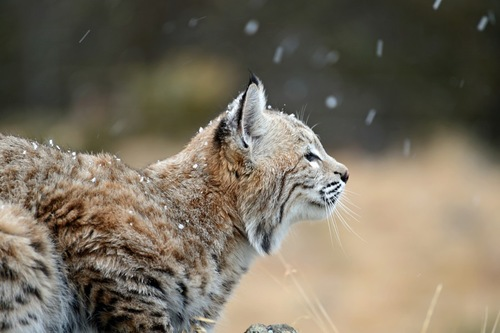 雪の中のリンクス