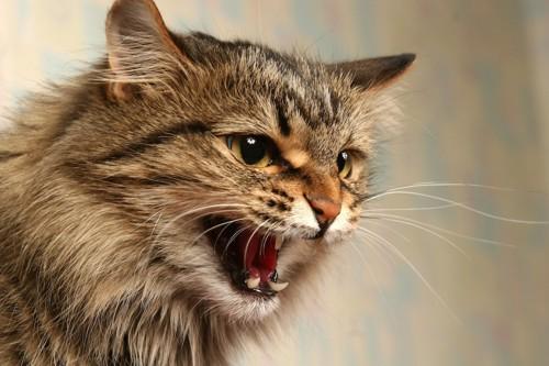 怯えて威嚇する猫の顔