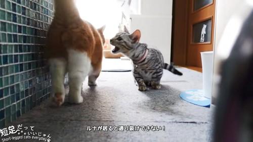 茶色い猫に噛みつこうとする猫