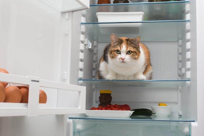 冷蔵庫内の猫