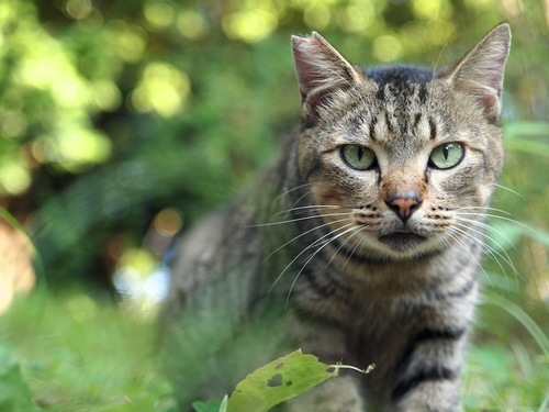 草むらからこちらを見るキジトラの桜猫