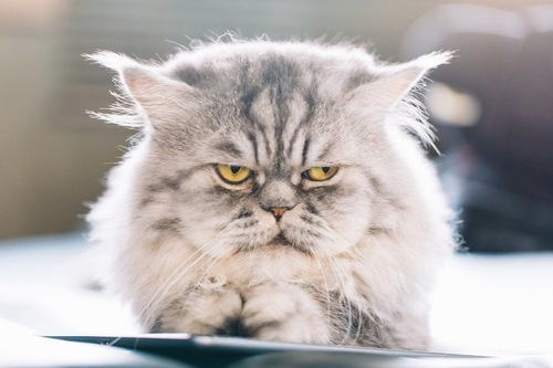 タブレットの上でいじける猫