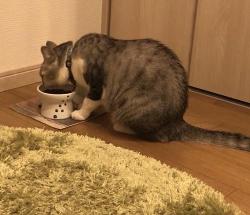 カナガン キャットフードを食べる猫