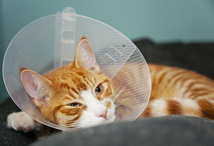 去勢手術後にエリザベスカラーをつけた猫