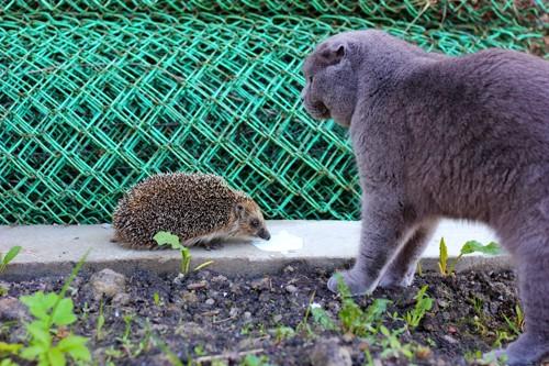 ハリネズミを威嚇する猫