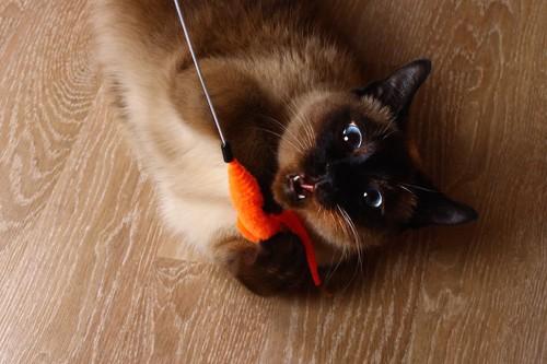 猫じゃらしで真剣に遊ぶ猫