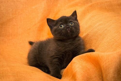オレンジのシーツの上のブリティッシュショートヘアの子猫